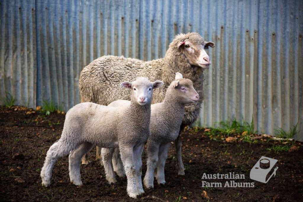 Photo of twin lambs and their mother, on an Australian farm