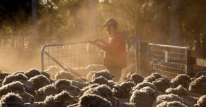 Photo of Roger working with sheep in a dusty sheep yard.
