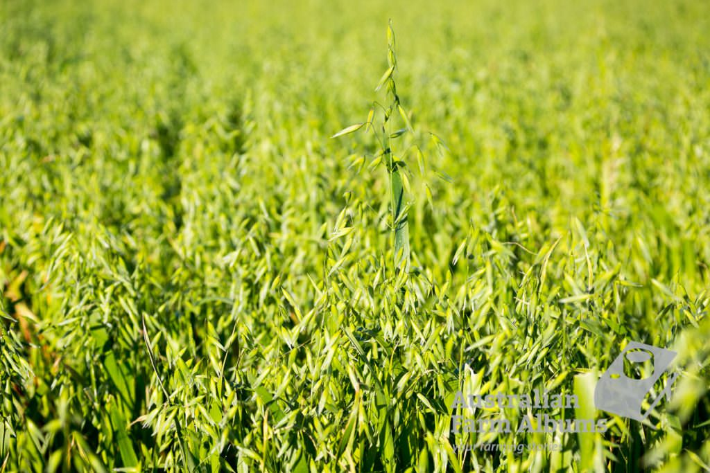 Green oat crop with oat heads
