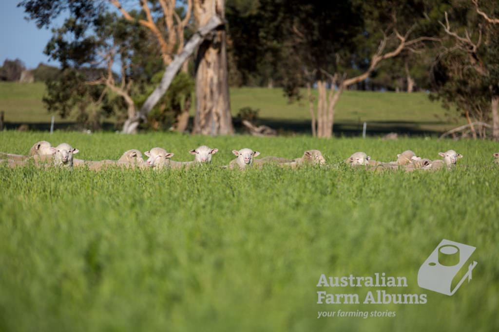 Poll Dorsett cross merino lambs in a fodder oat crop, with only their heads showing