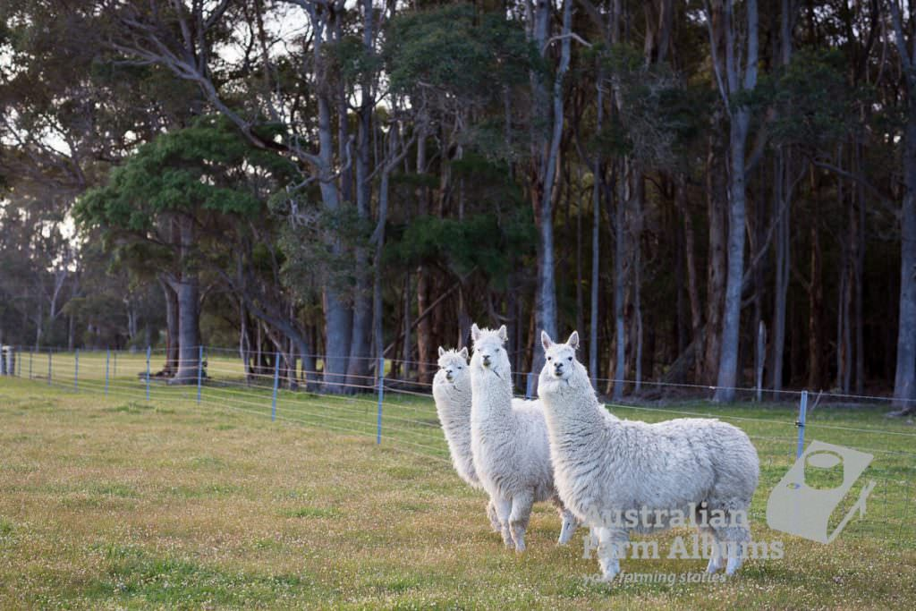 Three white alpacas looking at the camera against a background of trees