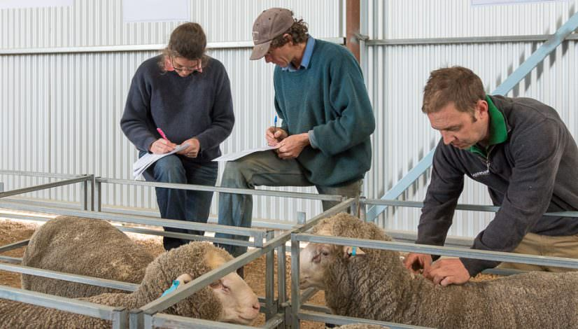Photo of fine wool merino rams and buyers taking notes