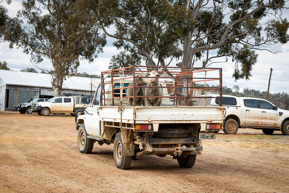 photo of two merino rams in a cage on back of farm pickup truck