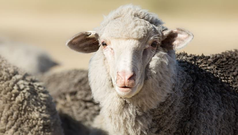 Photo of a wooly ewe lamb looking at the camera