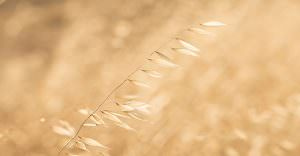 Photo of wild oats taken on an australian farm