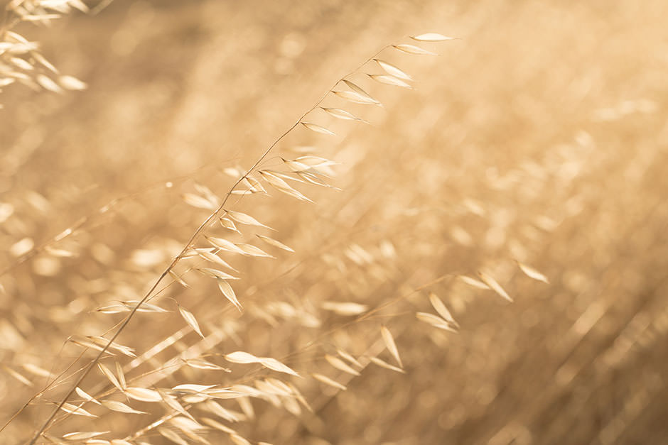 Backlit photo of dry wild oats on a farm in Australia