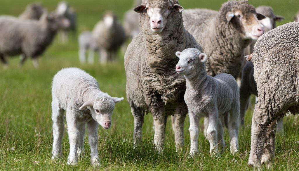 Merino ewes and lambs in green pasture. photo by caro telfer