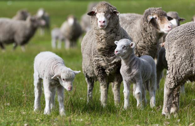 Merino ewes and lambs in green pasture. photo by caro telfer