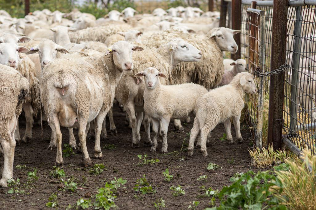 Photo of white dropper ewes and lambs in yards, The wool is shedding from the ewes.