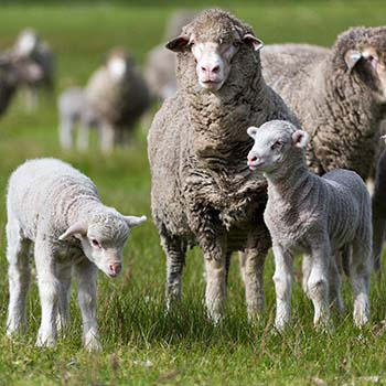 Photos of all breeds of livestock. Individuals or in mobs, in the yards or in the paddock.